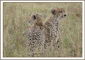 The cheetahs after treatment