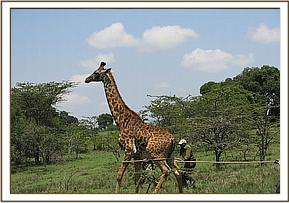 Immobilizing the giraffe