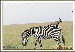 A zebra is seen with a serious injury to the neck