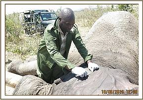 The elephant is given antibiotics and the anaesthetic is reversed