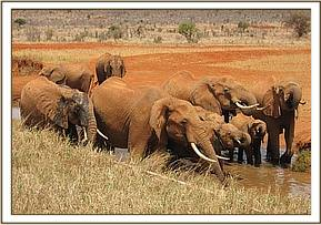 Wild elephants at a mud wallow