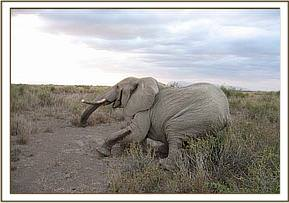 The elephant goes down after being darted