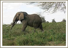 The elephant walks away after treatment