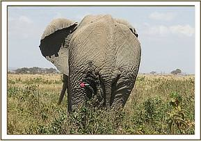 This elephant had a spear wound to the knee