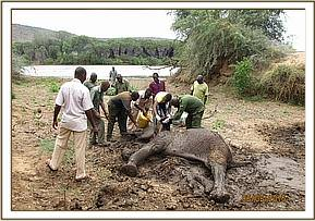 Elephant pulled out of the mud for treatment