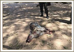 The dead hyena with Rabies
