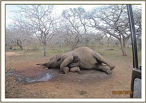 Dead elephant with gun shot wound