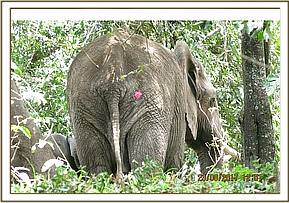 Darting the elephant for treatment