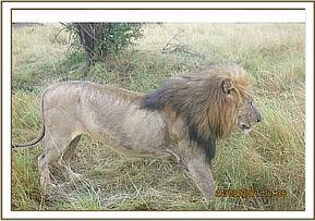 Sighting the lion for treatment
