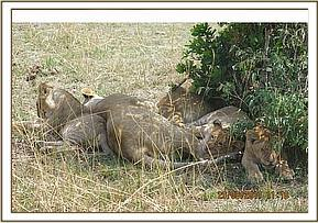 Lioness found between her sisters and cubs