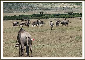 A Wildebeest is darted