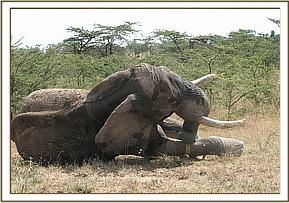 The elephant awake after the reversal drug is administered