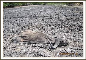 Dead buffalo stuck in the mud