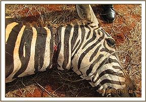 The snare around the zebra's neck