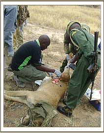 Treating the lioness