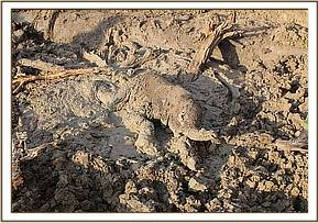 The calf stuck fast in the drying mud hole