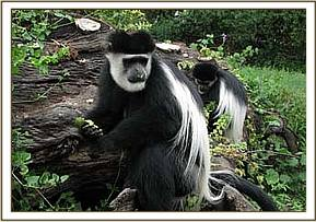 The sick colobus monkey