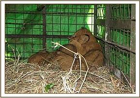 The cubs in the cage for transport to nairobi