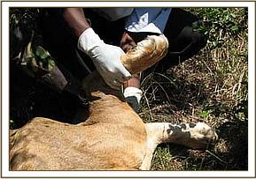 The left swollen hind limb is examined
