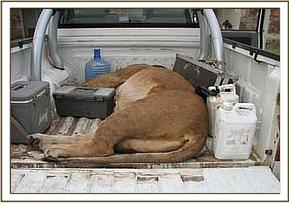 The lioness in the back of the pickup