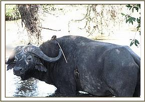 The buffalo with an arrow embedded in its back