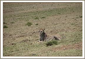 The cheetah awake after treatment