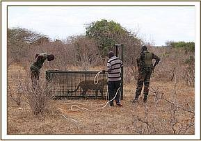 The leopard being released near Lugard Falls
