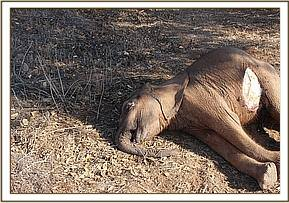 The dead calf found 400m from its mother