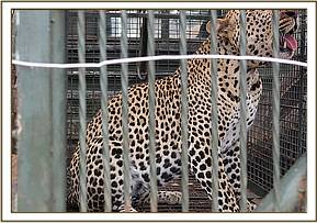 The captured leopard