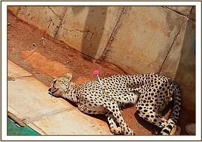 Darting the cheetah for transport
