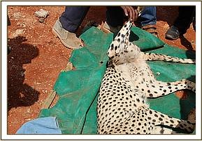Transporting the cheetah back into the Park