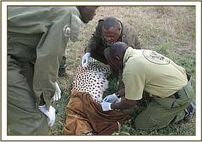 The cheetah is treated