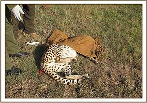The immobilised cheetah