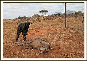 The immobilzed waterbuck is laid down