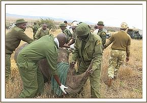 One of the captured rhinos for translocation