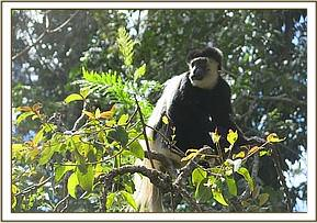 The colobus before capture