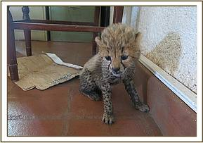 The cheetah cub