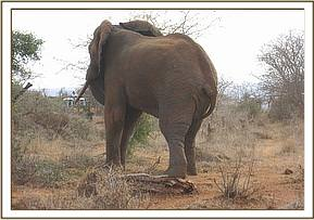 Elephant with an arrow wound