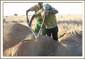 The Team cuts the snare off the elephants body