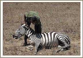 Helping the zebra up after the snare is removed