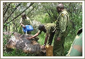 Pouring water on the rhino to help control its body temperature