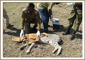 The immobilized cheetah
