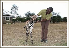 The young zebra foal with the vet Dr. Mijele