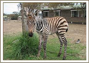 The young zebra foal