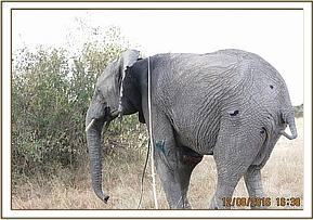 The elephant gets up after treatment