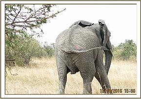 An elephant is seen with an injury