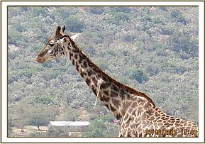 An arrow lodged in a giraffe's neck