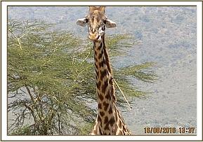 A giraffe with an arrow sticking from the neck