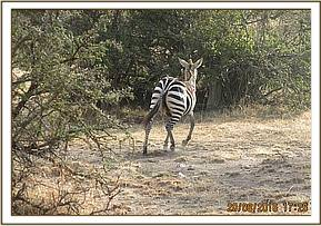 The zebra is darted so the snare can be removed