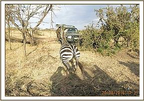 Snare free the zebra rejoins the herd